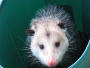 possum1small