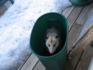 possum2small